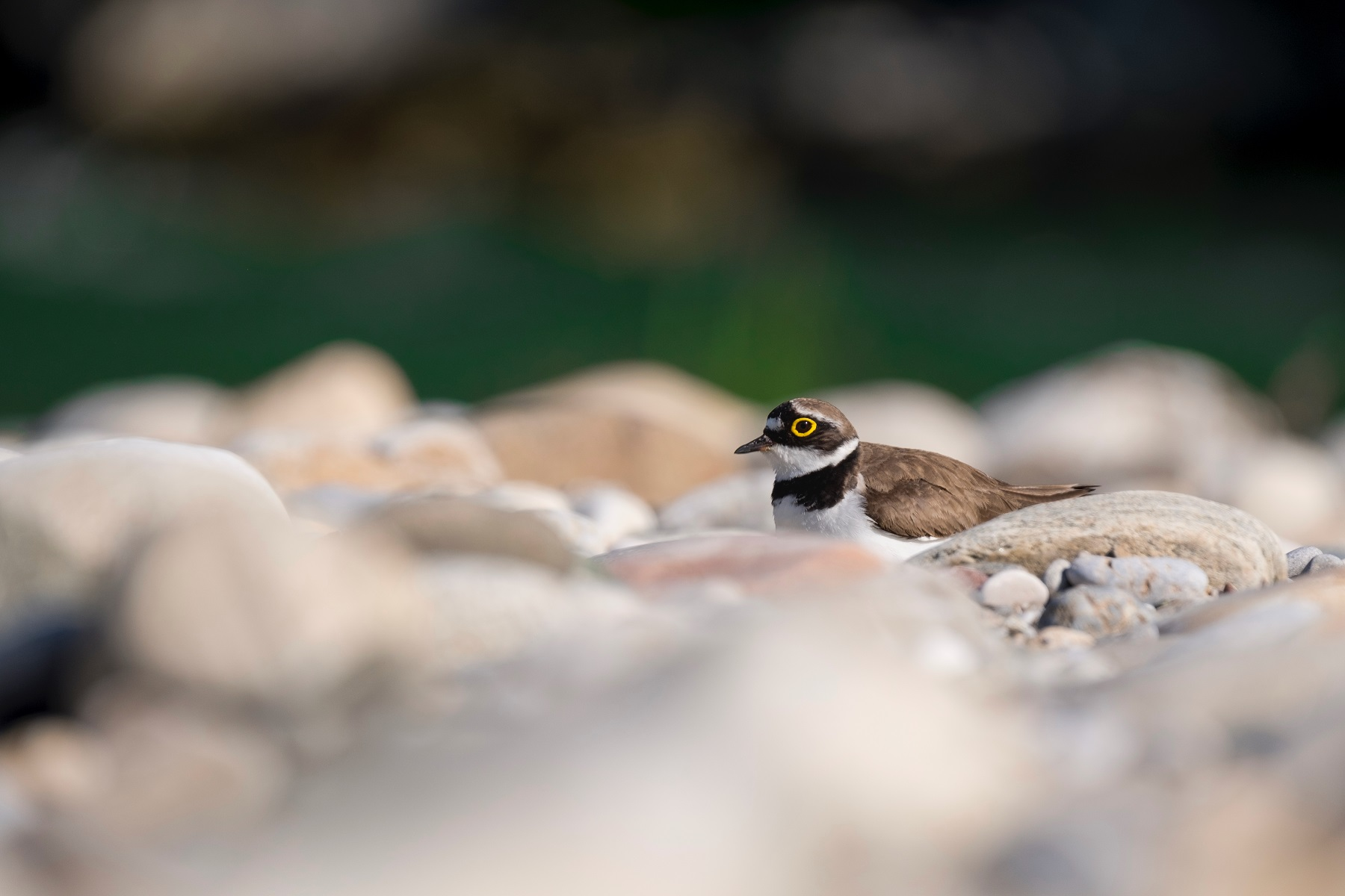 Little Ringed Plover © Tilen Basle